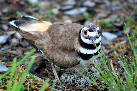 Close up of female killdeer watching over her nest  photo