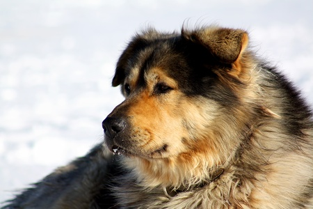 gardian: Old farm dog relaxing in the snow on a cold and sunny december day