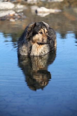 Old family dog taking a swim on a frisky november morning  Stock Photo