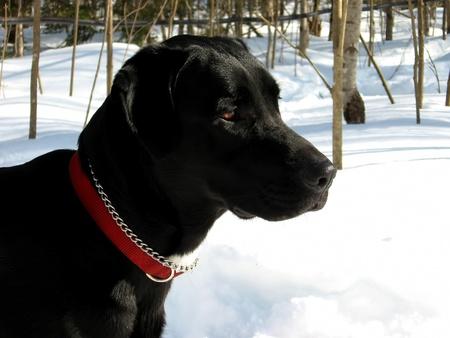 gardian: Labrador retriever in the snow on a sunny winter day