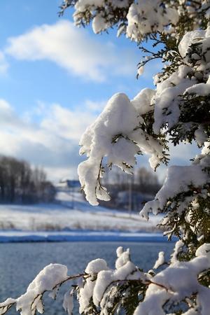 Hóval borított ágak cédrus egy vidám téli reggelen