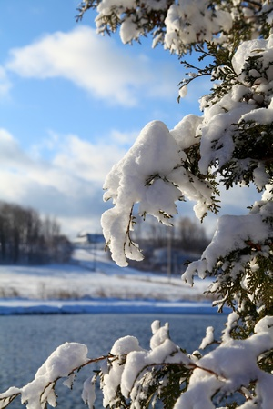 quiet scenery: Snow covered cedar branches on a frisky winter morning