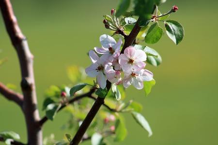 Blooming apple tree in the springtime  Banco de Imagens