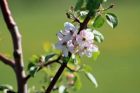 Blooming apple tree in the springtime  photo