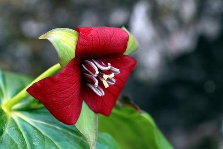 erectum: Blooming trillium erectum Stock Photo