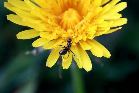 Ant exploring a dandelion photo
