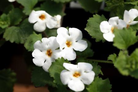 Bacopa  Sutera  Cabana  Pikmin flower   Reklamní fotografie