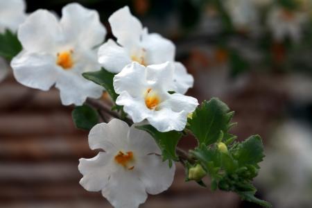 Pikmin virág Bacopa Sutera Cabana Stock fotó