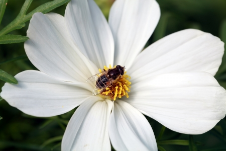 long lasting: Bee on white cosmos flower Stock Photo
