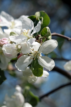 Close up of blooming apple tree flowers photo