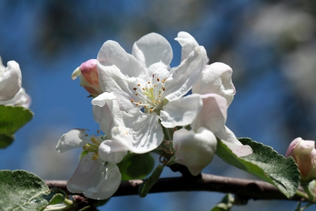 Beautiful blooming apple tree photo