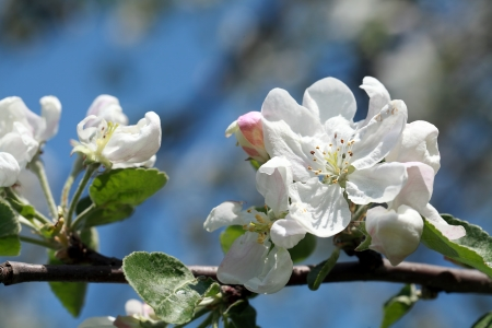 Close up of a blooming apple tree flower photo