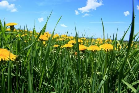 Field of dandelions photo