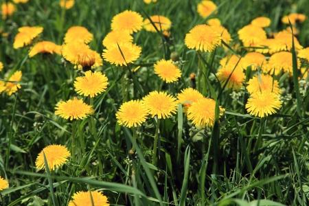 Close up of dandelions photo