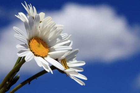 Daisies against a cloudy blue sky Stock Photo - 13998243