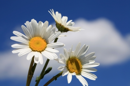 Daisies in a field on a beautiful spring afternoon