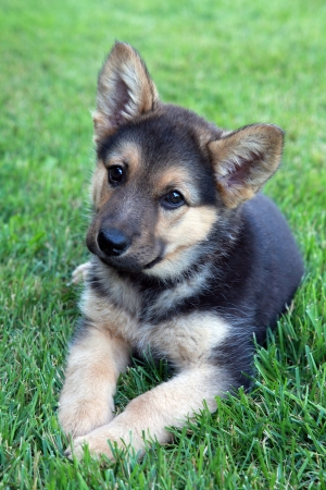 german shepherd on the grass: Adorable german shepherd puppy