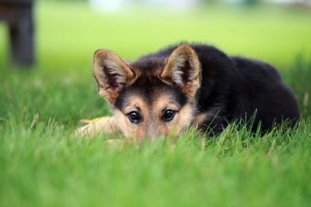 Cute german shepherd puppy relaxing in the grass Reklamní fotografie