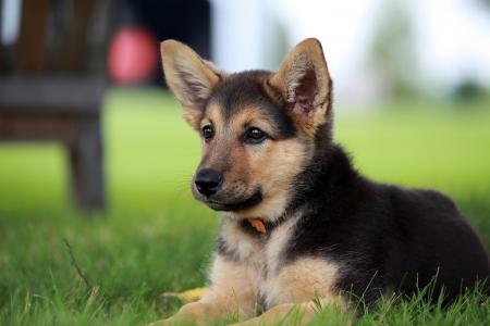 暖かい夏の日にリラックスしたジャーマン ・ シェパードの子犬