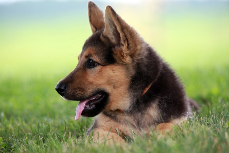 dog nose: Watchful german shepherd puppy