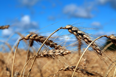 canada agriculture: Close up of wheat heads on a bright sunny afternoon in a field located in Quebec, Canada