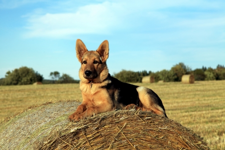 shepherd's companion: Watching over the field