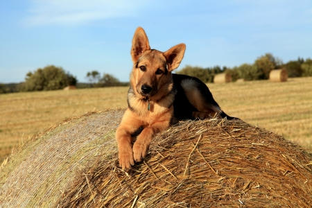 Watchful german shepherd puppy on bail of straw Stock Photo
