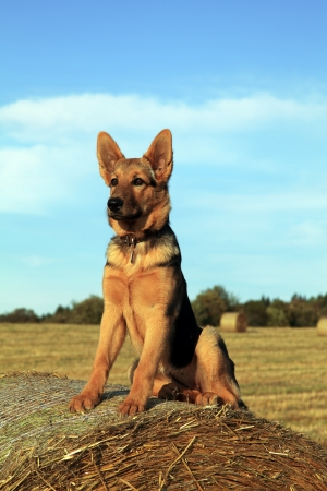 German shepherd watching over the farm photo