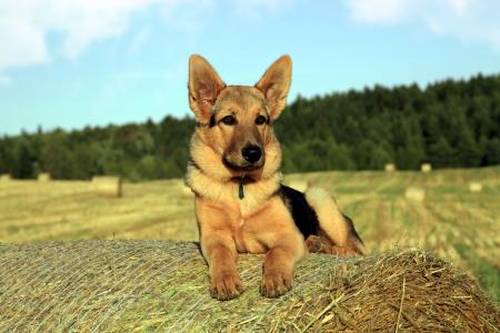 German shepherd resting on a bail of straw photo