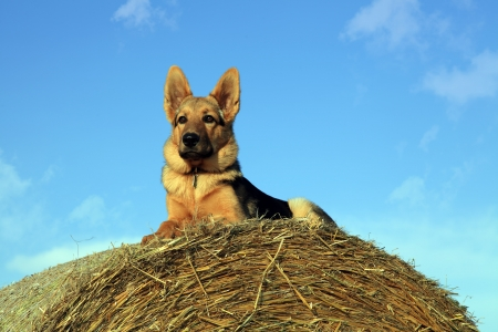 German shepherd watching the farm work Stock Photo