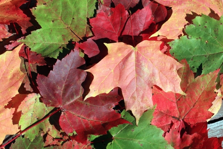 wood turning: Colorful fallen maple leaves