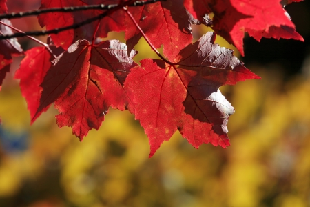 Beautiful red autumn maple leaves photo