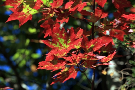 sugar maple: Vibrant red and green maple leaves