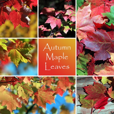 Autmn maple leaves montage photo