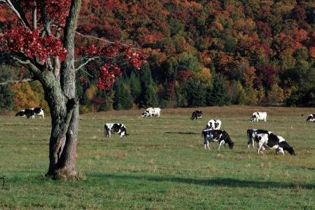 domestic scene: Holstein cows grazing on a beautiful autumn day Stock Photo