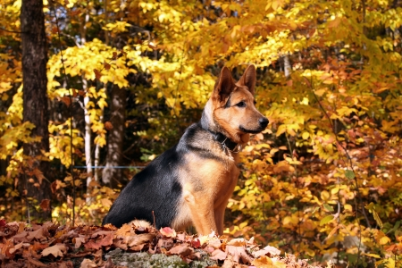 5 month old german shepherd sitting on a rock on a beautiful autumn day photo