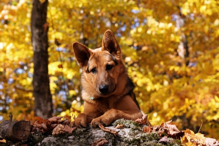 German shepherd in a beautiful autumn decor