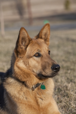 One year old female German shepherd Stock Photo - 20445133
