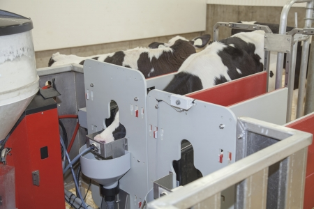 Holstein calf using automatic feeder