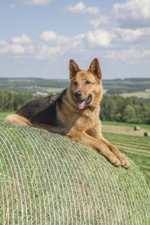 Beautiful German shepherd watching the farm work photo