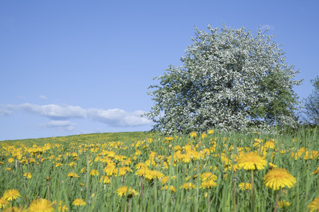 Old blooming apple tree in a field of dandelions