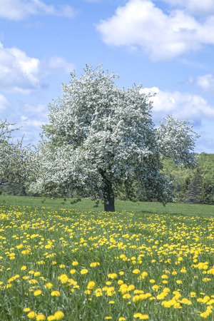 Blooming apple tree in a field of dandelions Reklamní fotografie
