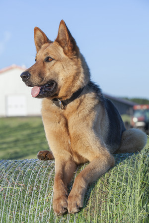 Attentive German shepherd female on bale of hay photo