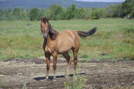 Young quarter horse gelding