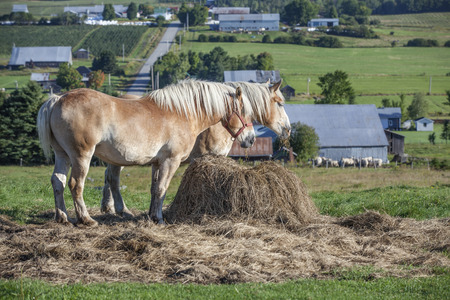 목초지에서 두 개의 장엄한 벨기에 말