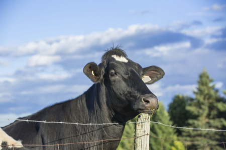 Curious Holstein cow staring over a fence photo