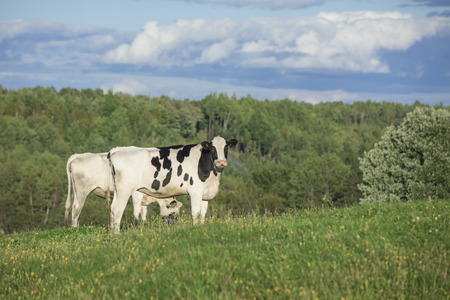Holstein cattle grazing on a beautiful summer afternoon Reklamní fotografie