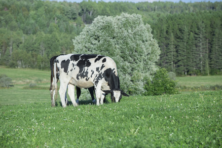 Holstein cattle in a pasture on a beautiful summer afternoon Reklamní fotografie