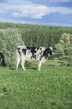 Holstein heifer standing in a pasture