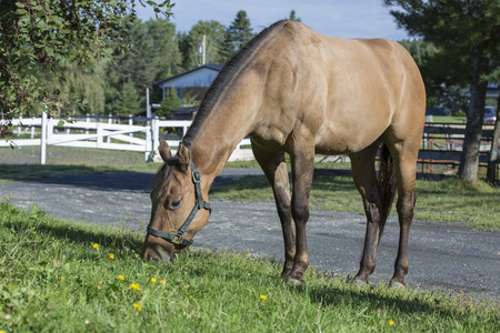 quater: Quater horse gelding grazing